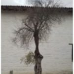 Dead olive tree at Mission