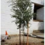 New olive tree at Mission